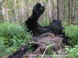 Picture relating to Porongurup National Park - titled ' A large Karri tree burnt out stump'
