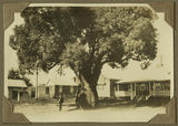 Picture of / about 'Gayndah' Queensland - Bottle tree in the grounds of the Gayndah Courthouse