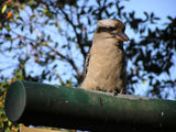 Picture relating to Oatley - titled 'Oatley Park Kookaburra'