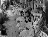Picture relating to Queensland - titled 'Men shearing sheep in a Queensland shearing shed, ca. 1940-1950'