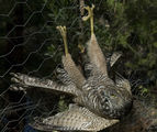 Picture of / about 'Gruyere' Victoria - Goshawk at Gruyere