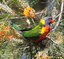 Picture relating to Queensland - titled 'Birds of Queensland - #4 - Noosa Region'