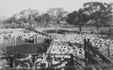 Picture relating to Queensland - titled 'Sheep yards at Kahmoor Station, Queensland'