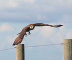 Picture relating to The Spit Wildlife Reserve - titled 'Brown Falcon at The Spit Wildlife Reserve'