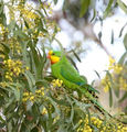 Picture relating to Savernake Station - titled 'Savernake Station Superb Parrot'