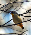 Picture relating to Warrumbungle National Park - titled 'Spotted pardalote'