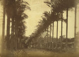 Picture of / about 'Cleveland' Queensland - Avenue of palms in Cleveland