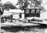 Picture relating to Watson - titled 'Pigs at the feeding trough at the Government hog farm off the Federal Highway, Watson.'
