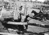 Picture relating to Tinnenburra - titled 'Horses being lassoed for branding, Tinnenburra, ca. 1941'