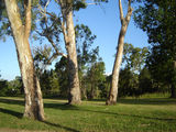 Picture relating to Cooyar - titled 'Cooyar  - blue gum trees'