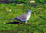 Picture relating to Lake Keepit - titled 'Crested pigeon'