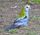 Picture relating to Wondai - titled 'Pale Headed Rosella at Wondai'