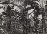 Picture relating to Nambour - titled 'Banana plantation at Nambour'
