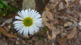 Picture relating to Warrumbungle National Park - titled 'Wildflower'
