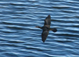 Picture relating to Beauty Point - titled 'Little Black Cormorant'