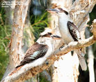 Picture relating to Queensland - titled 'Birds of Queensland - #2 - Mooloolaba Region'