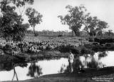 Picture relating to Queensland - titled 'Flock of sheep in Central Queensland, ca. 1900'