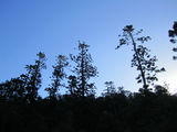 Picture relating to Mount Mudlo - titled 'Hoop pine at Mudlo National Park'