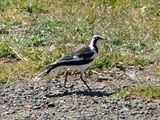 Picture relating to Yass - titled 'Australian Magpie Lark'