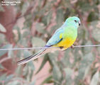 Birds of New South Wales - #12 � Bourke Region