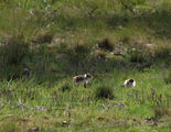 Picture relating to Moruya - titled 'Plover chicks out and about'