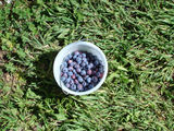 Picture of / about 'Stanley' Victoria - Stanley Blueberries