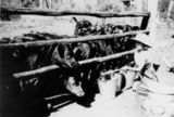 Picture relating to Biloela - titled 'Young girl feeding poddy calves in the Biloela district, circa 1940'