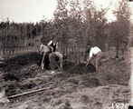 Picture relating to Acton - titled 'Workmen preparing trees for transplanting at the Acton nursery'