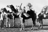 Picture relating to Cloncurry - titled 'Camels loaded for the trip between Winton and Cloncurry'