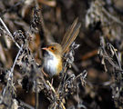 Picture relating to Sharpes Beach - titled 'Sharpe's Beach jenny wren'