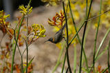 Picture relating to Chichester Range - titled 'Western Spinebill on Kangaroo Paws, WA'