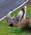 Picture relating to Phillip Island - titled 'Cape Barren Goose display'