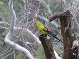 Picture relating to Murray River - titled 'Regent Parrot.- bird.'