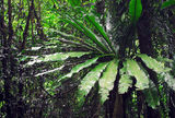 Picture relating to Dorrigo National Park - titled 'Birds Nest Fern'